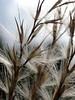 11.7.08 (sunshadows) Tags: macro grass austin explore alameda awn inmygarden naturesfinest 2011 abigfave ©allrightsreserved littlezebramaidengrass ©mjba ©copyrightreserved