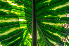 Translucid (Morelia, Mxico. Gustavo Thomas  2015) (Gustavo Thomas) Tags: light naturaleza sunlight plant color colour verde green planta luz nature mexico vert translucid translcido luzdesol