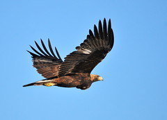 nature eagle wildlife conservation usfws goldeneagle migratorybird seedskadeenwr nwrs