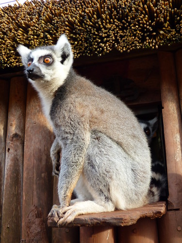 South Lakes Zoo - ring tailed lemur (4)