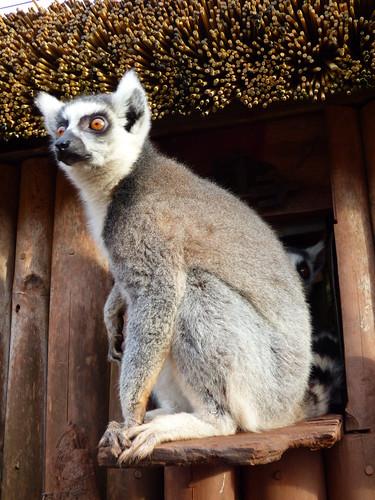 South Lakes Zoo - ring tailed lemur (4)