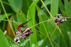 Did the crimson sunbird really listen to me? (Robert-Ang) Tags: sunbird bird jurongecogarden singapore crimsonsunbird