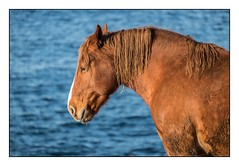 Le breton fourbu (SiouXie's) Tags: color couleur fujixe2 fuji fujifilm finistère bretagne siouxies porspoder cheval horse nature