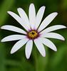 It is,,, (Steven H Scott) Tags: flower nature outdoor organic pattern white petals
