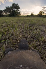Life as a Gopher Tortoise (Explored) (santosh_shanmuga) Tags: gopher tortoise turtle shell eye view reptile herp herpetology animal nature wild wildlife outdoor outdoors protected sunset nikon d4 sigma 15mm fl florida lee punta gorda puntagorda explore explored