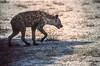 Namibia : Etosha, hyena #3 (foto_morgana) Tags: africa afrika afrique analogphotography analogefotografie animals ethosha hyena mammalia mammals mammifères namibia nature nikoncoolscan outdoor photographieanalogue safari säugetiere travelexperience vuescan wildlife zoogdieren