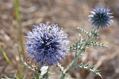 Blue star (dfromonteil) Tags: flower fleur blue bleu plant plante macro bokeh brown marron vert green colors couleurs nature sunlight light lumière wow