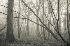 (SASHA TURPIN) Tags: forest fog foggy mist misty moody monochrome morning bw blackandwhite splittone trees lanscape winter 5d 24105mm canon nature