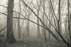 (SASHA TURPIN) Tags: forest fog foggy mist misty moody monochrome morning bw blackandwhite splittone trees lanscape winter 5d 24105mm canon nature