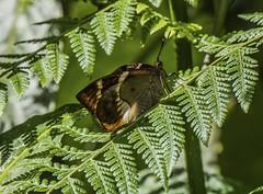 Panama Castniid Moth Side View