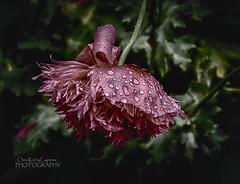 Pink poppy (ChrisKirbyCapturePhotography) Tags: