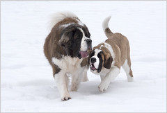 st bernard5 (tesseract33) Tags: peterlangphotographynet snow winter squamish tesseract33 nikon light world art travel dog dogs stbernards puppies peterlangpeter lang photographysquamish photographers