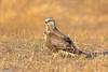 BJ8A1042-Rough-legged Hawk (tfells) Tags: roughleggedhawk hawk raptor bird nature nj newjersey pole farm mercer