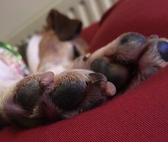Paw Me (nik.golding) Tags: dog jack russell russel jackrussell white tan brown child kid 4 four paw nose bag bean eye eyes cute blur depth field depthoffield black teen teenager red fur sleep cosy cosey snooze moist nostril nail pad beanbag