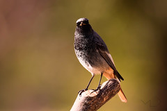 ... Inteligencia ... (Device66) Tags: pruebas colirojotizon olivo nature birdwatching phoenicurus bird wild