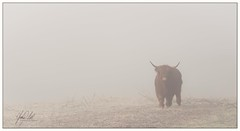 Out of the mist.. (AnthonyCNeill) Tags: scottish highland cattle schottischehochlandrinder cow animal farm countryside campo outdoor nature colour color hair hairy longhair winter mist misty fog foggy cold nikon d750 zoom lens 70200mm f28 atmosphère atmosphere atmospheric mood moody wintry pov focus subject portrait vache vaca horns light lighting twigs grass moor field atmósfera composition composición interesting