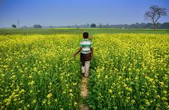 towards yellow (mailmesanu20111) Tags: yellow bengal feild life colour nikon love lovetophotography beautyofnature landscape nature farmer crop serene gointothegreen india indian kalyani
