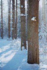 Tracks (reclaimednj) Tags: tuckerton newjersey unitedstates us zenithelios44m458mmf2 bassrivertownship bassriverstateforest nj 2017 forest winter snow