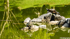 Basking in the Sun (FuzzyEyez) Tags: turtle outdoors wild wildlife animal water green beautiful natural forest travel trees tree animals life habitat rest reptiles reptile reflection reflections ipoh malaysia fujifilm color contrast rocks relax sunbathing yolo