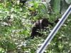 IMG_9139 (dstylebda) Tags: colonpanama gatunlake tamarins howlermonkeys sloth