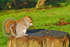 Holland Park Squirrels (gary8345) Tags: 2017 uk greatbritain britain england london londonist hollandpark nottinghill park recreation openspace snapseed squirrel