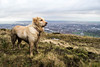 Gorgeous Bally on Divis Mountain, Belfast (ciarametcalfe) Tags: belfast labrador