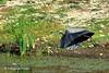 SnackTo Go (RMIngramPhotos.com) Tags: snacktogo nohangingaround timetoleave greatblueheronleavingwithcatch greatblueherontakingwing great blue heron ardeaherodias pondlife birds nature herons egrets