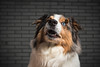 Murphy_3 (Roland Schatz) Tags: hund aussie australianshepherd blue eye dog portrait