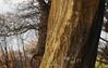 Stamm einer Hainbuche (Carpinus betulus); Bergenhusen, Stapelholm (Chironius) Tags: stapelholm bergenhusen schleswigholstein deutschland germany allemagne alemania germania германия niemcy borke rinde ladrido écorce corteccia schors кора hout bois holz wood legno madera rosids fabids buchenartige fagales birkengewächse betulaceae haselnussgewächse coryloideae hainbuchen baum bäume tree trees arbre дерево árbol arbres деревья árboles albero árvore ağaç boom träd carpinusbetulus