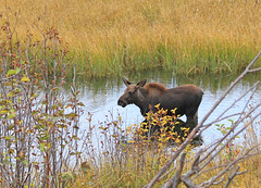 Young Moose (zgrial) Tags: animal mammal wildlife moose calf deerfamily grandteton nationalpark wyoming summer alcesalces pond willow zgrial