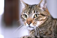 Harry serio (melyescamilla1) Tags: cat gato gatito felino harry michi miaw minino felinos cats fatcat serio nikon portrait animal gatos animals cuteanimals beautiful animales mascota pet