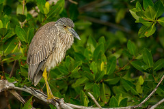 Restful perch (ChicagoBob46) Tags: juvenileyellowcrownednightheron yellowcrownednightheron heron bird jndingdarlingnwr flower sanibel sanibelisland nature wildlife