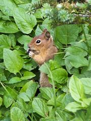Cascade Golden-mantled Ground Squirrel (maritimeorca) Tags: animal callospermophilussaturatus cascadegoldenmantledgroundsquirrel goldenmantledgroundsquirrel groundsquirrel mammal mountrainiernationalpark rodent squirrel