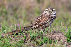 Cape Coral: Burrowing Owl in Classic Pose (donna lynn) Tags: 2017 florida birds birding nature wildlife leecounty capecoral burrowingowl athenecunicularia owls