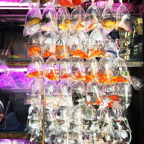 #Goldfish #Market #HongKong #金魚街