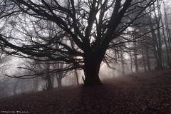 Creepy forest (Hector Prada) Tags: bosque niebla arbol mistico luz sol atmosfera contraluz otoño forest fog mist tree misterious sun sunbeams hectorprada hayedo leaf naturaleza