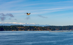 Mountain view bird (Carpe Lucem!) Tags: birdsbirdsbirds birdinflight landscape seattle birds nikon nikkor lightroom photography d7100 creative photos nikond7100 24mp 241mp dslr slr lens