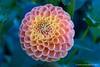 Dahlia (jimgspokane) Tags: friends dahlias flowers spokanewashingtonstate naturewatcher today´sbest otw