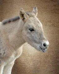 IMG_3401  A newborn konik filly (pinktigger) Tags: horse konik baby mare oasideiquadris fagagna feagne friuli italy italia animal nature outdoor