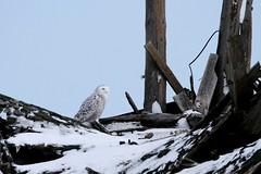 Quiet Time (McGill's Nature in Motion) Tags: snowyowl owl nature bird wildlife raptor predator winter snow michigan teresamcgill mcgillsnatureinmotion