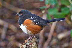 Spotted Towhee (richmondbrian) Tags: spotted towhee