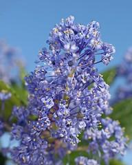 D174709A (RobHelfman) Tags: losangeles flowers kennethhahnstaterecreationarea