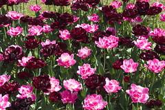_DSC0705 (Riccardo Q.) Tags: parcosegurtàtulipani places parco altreparolechiave fiori tulipani segurtà