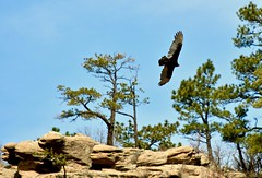 Turkey Vulture Soars Above the Canyon's Rim (Ginger H Robinson) Tags: turkeyvulture soaring canyon rim rimrock bald redhead hookedbeak carrion wingspan circularflight springtime castlewoodcanyon colorado air currents thermal