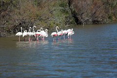 Pinky (Isaszas) Tags: pink france rose canon europe flamingo midi extrieur oiseaux migrations sdfrankreich camargue mditerrane southfrance bouchesdurhne lessaintesmariesdelamer tangs zuidfrankrijk provencealpesctedazur flamantsroses rserveornithologique chassiers sitenaturel sdentarit regroupements prservationdesespces