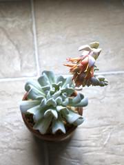 Echeveria 'Topsy Turvy' (heatherdawnplants) Tags: plants flower bloom succulents topsyturvy houseplants echeveria runyonii