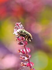 P9281413 (eriko_jpn) Tags: insect pinkflower flowerchafer eucetoniapilifera ハナムグリ 赤シソ