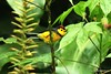 Collared Redstart (Gmo_CR) Tags: bird birds costarica watching birding birdwatching collaredredstart myioborustorquatus candelitacollareja birdwatrching amigodehombre