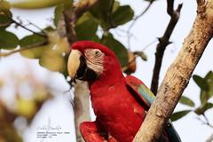 Cirandeira Bela - Manacapuru (Celso Paula) Tags: birds amazonas greenlife redarara bentivi novoairo amazonbirds