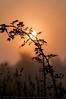 Looking up through the Blackberry bush, The Sun and the morning mist (Trevor Watts Photography) Tags: uk morning autumn england dog mist fog sunrise river dawn early nikon warm walk earlymorning somerset september gb autumnal dogwalk daybreak 2015 huntspill sigma18250 d300s nikond300s